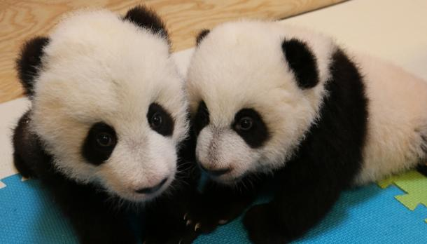 Trent Professor Instrumental in Discovery of Panda Cubs' Gender