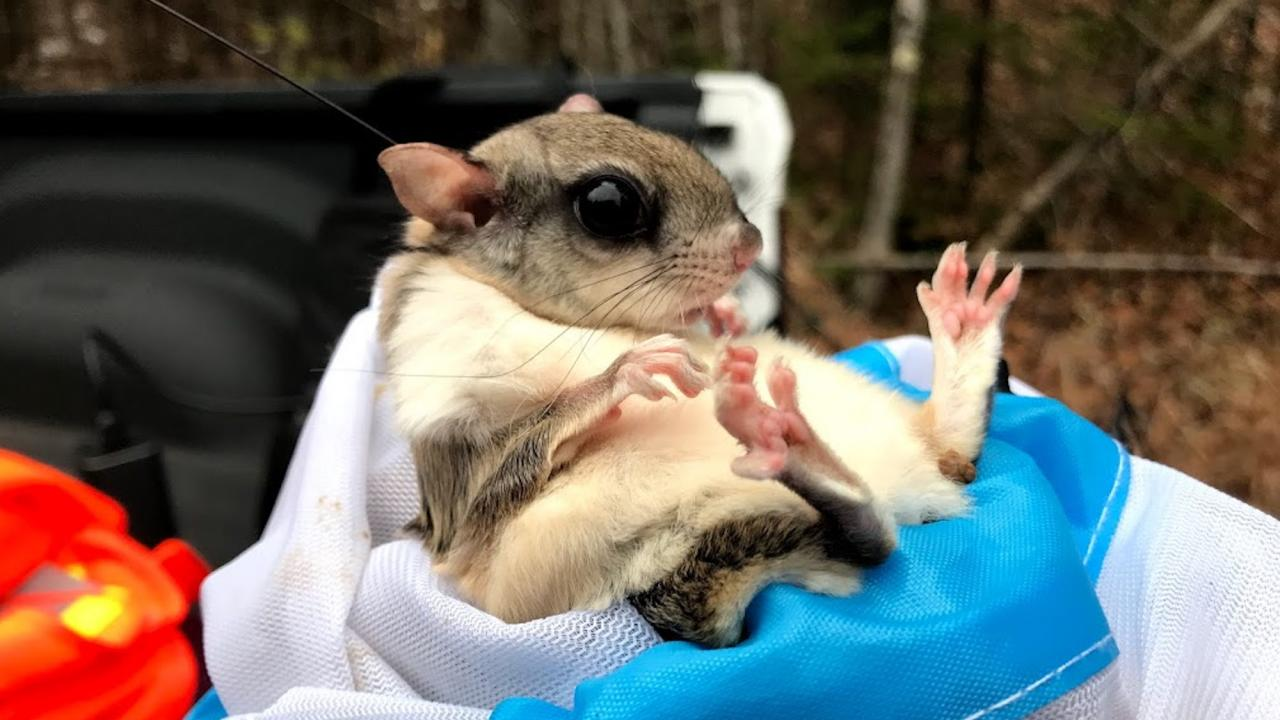 An infant flying squirrel being researched.