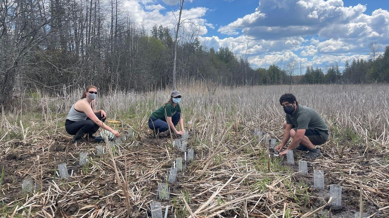 Three students working in a field planting cattails