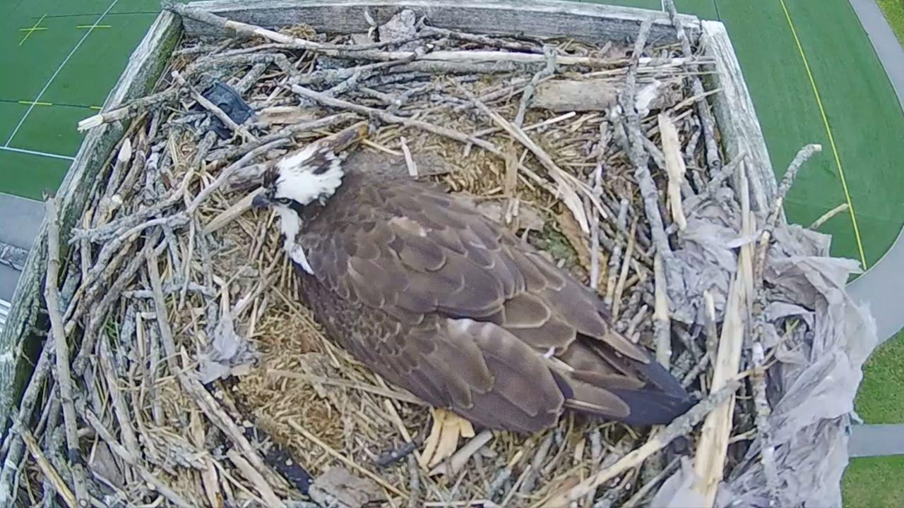 A live view of an Osprey on Trent University's campus