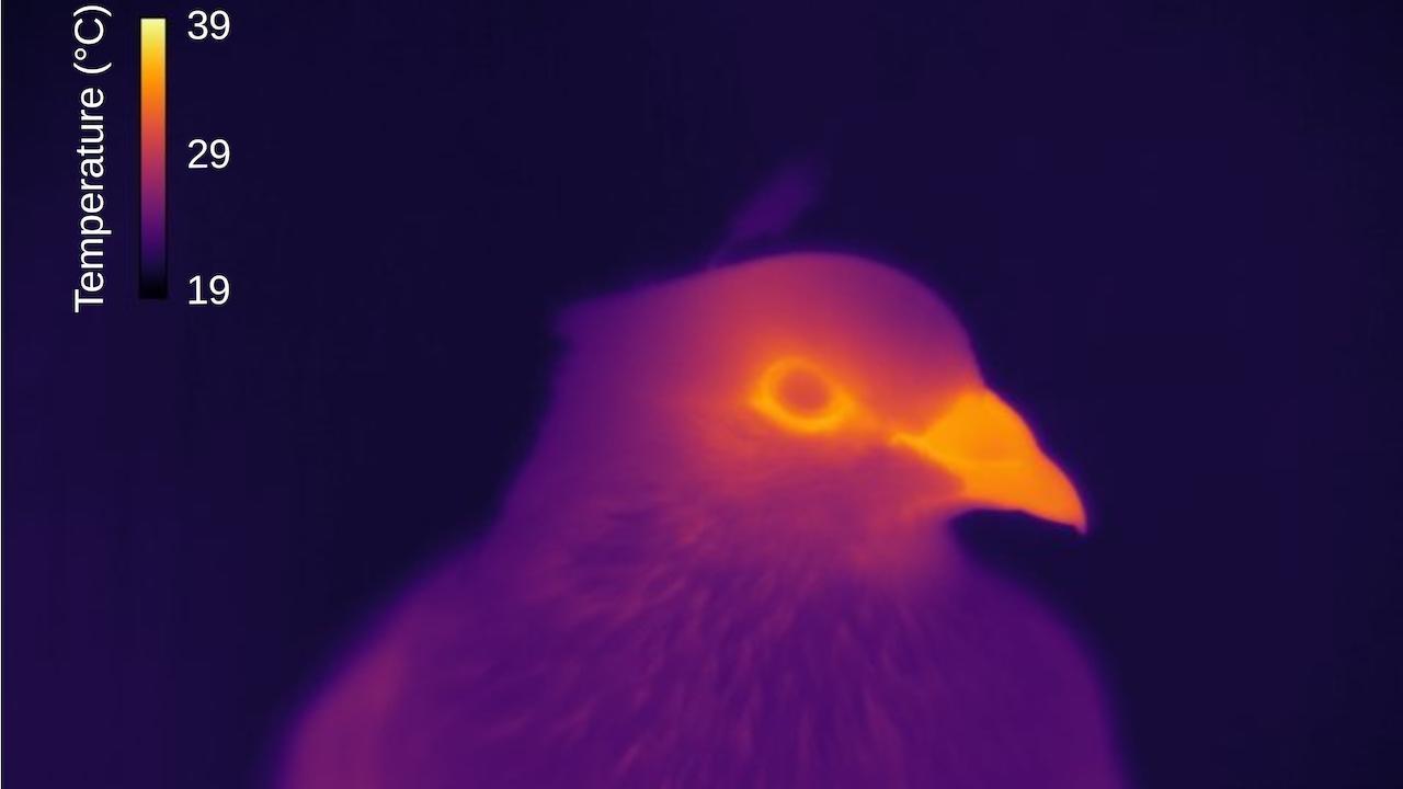 A pigeon viewed through a temperature sending camera