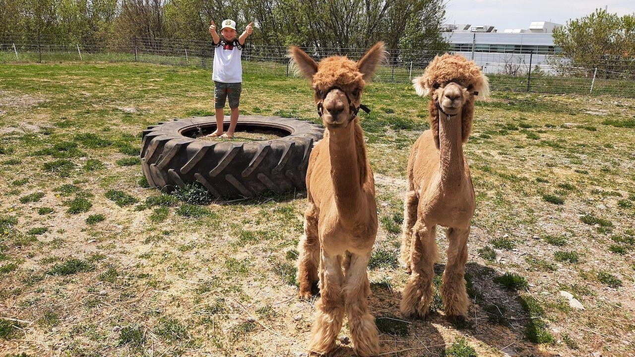Trent's Alpacas, Mac and Hollister