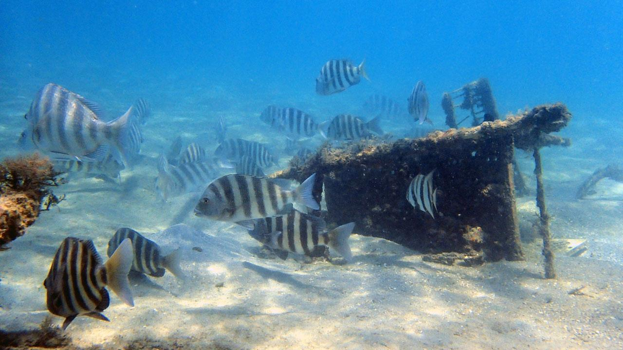 Historically sheepshead fish were plentiful on the shores of New Orleans. Archaeological research led by Dr. Eric Guiry shows the earliest evidence of overfishing in one of the world's most productive fishing grounds.