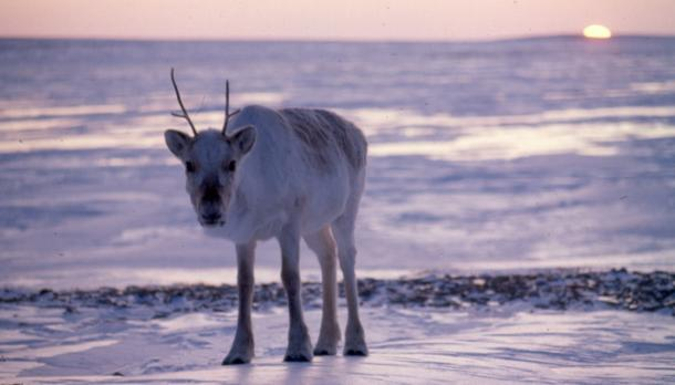 Canadian caribou standing against, sunset looking at the camera