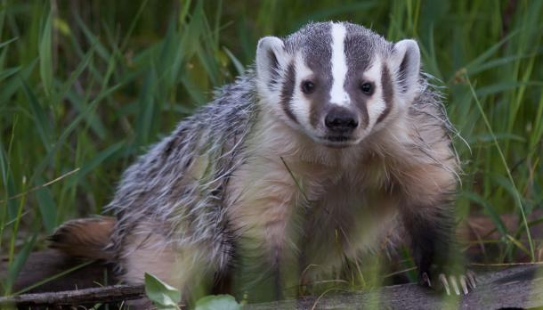 a badger looks for food in the grass of a nearby pasture similar to Otonabee College at Trent University