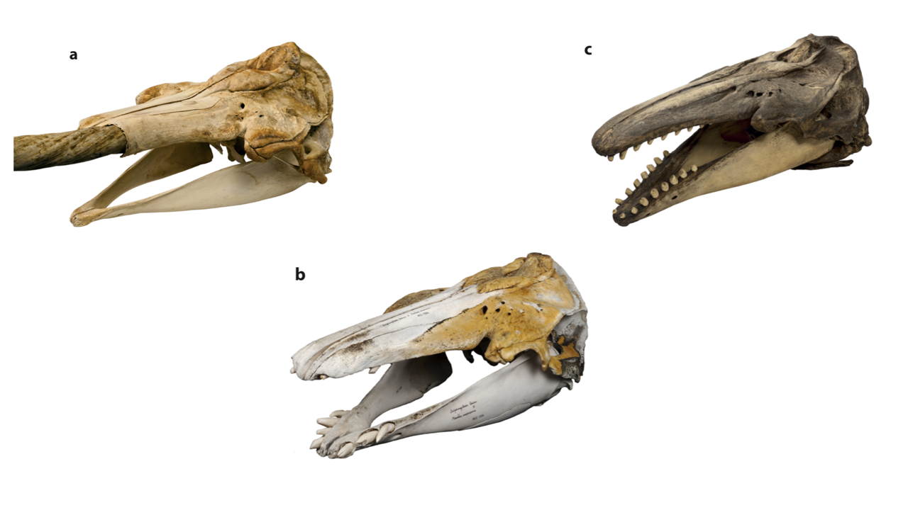 Skulls of (a) a narwhal, (b) the narluga, and (c) a beluga. (Eline Lorenzen)