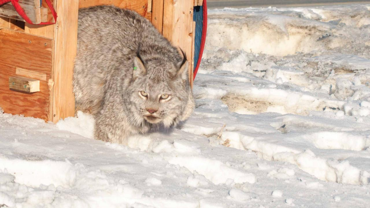 A Lynx on snow